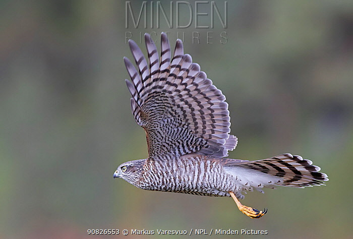 Sparrowhawk (Accipiter nisus) juvenile flying , Norway, October.