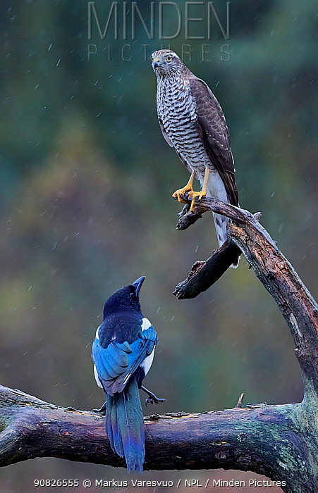 Sparrowhawk (Accipiter nisus) juvenile and a Magpie (Pica pica) Norway, October.