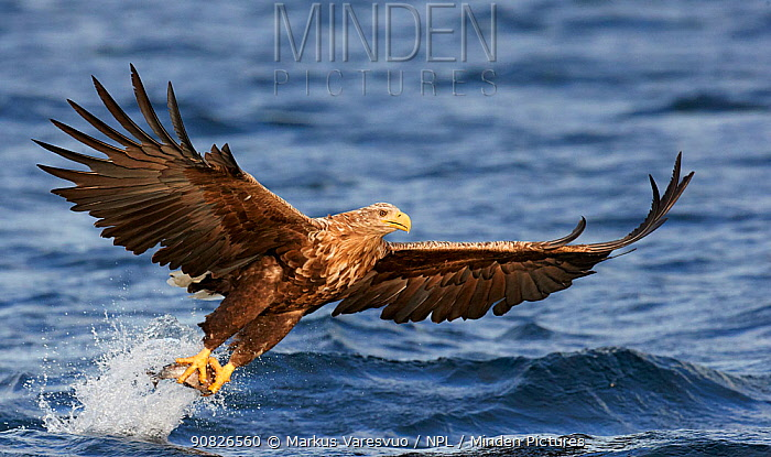 White-tailed Eagle (Haliaetus albicilla) Norway, August.