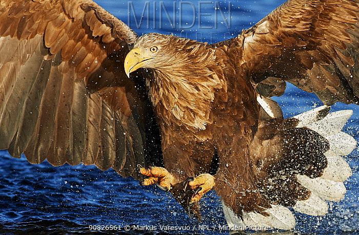 White-tailed Eagle (Haliaetus albicilla) Norway, November.