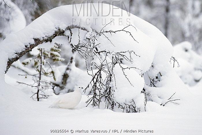 Willow Grouse (Lagopus lagopus) Inari Kiilop�� Finland, November.
