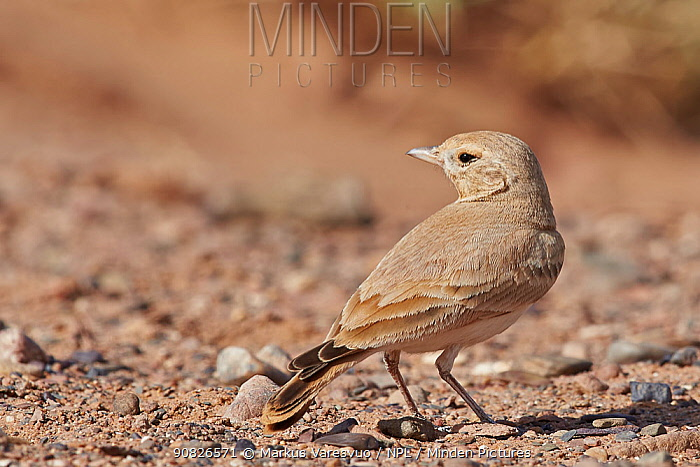 Bar-tailed Lark (Ammomanes cincrura) Morocco, March.