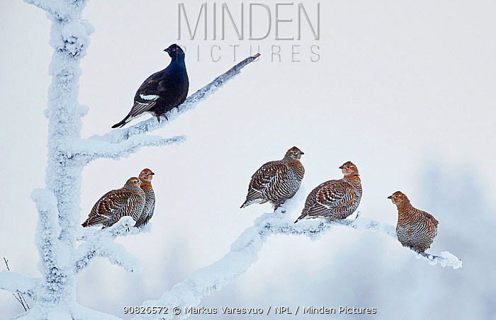 Black Grouse (Lyrurus tetrix) male with group of females, Suomussalmi Finland, January.
