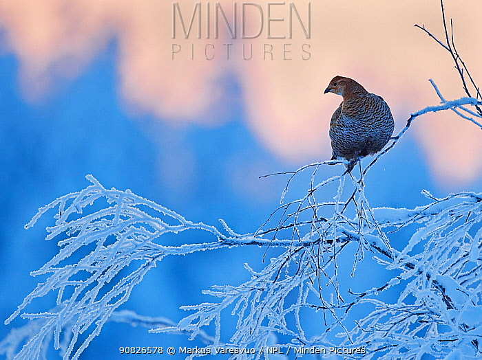 Black Grouse female (Lyrurus tetrix) perched on frost covered branch, Suomussalmi Finland, January.