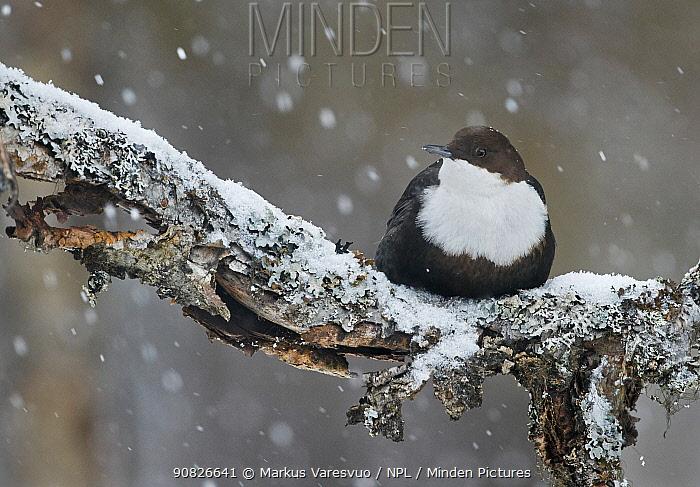 Dipper (Cinclus cinclus) perched on snowy branch, Kuusamo, Finland, March.
