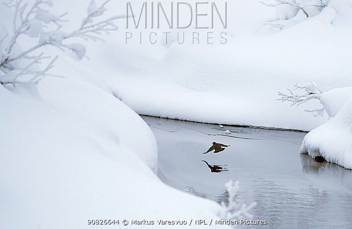 Dipper (Cinclus cinclus) in stream surrounded by snow, Inai Kiilopaa, Finland, November. Some branches removed