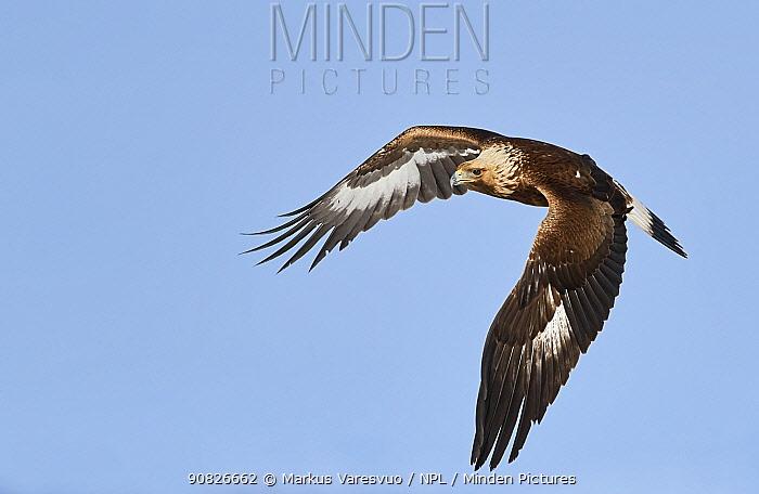 Golden eagle (Aquila chrysaetos) Sodankyla, Lokka, Finland, April.
