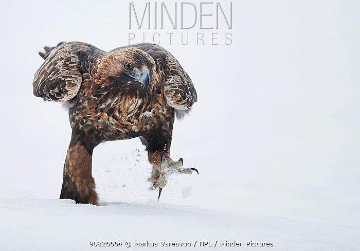 Golden Eagle (Aquila chrysaetus) walking in snow, Kuusamo, Finland, December..