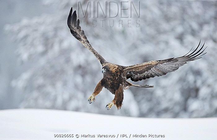 Golden eagle (Aquila chrysaetus) landing in snow, Kuusamo, Finland, December..