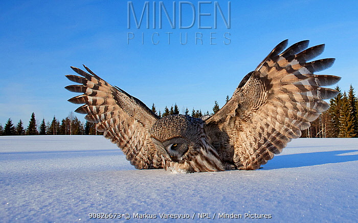 Great Grey Owl (Strix nebulosa) landing in snow, Kuhmo Finland, March.