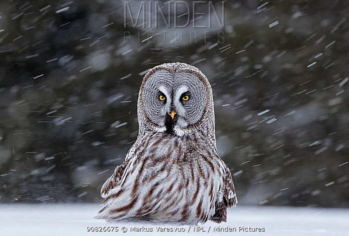Great Grey Owl (Strix nebulosa) sat in snow, Kuhmo Finland, March.