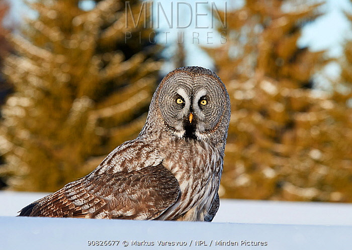Great Grey Owl (Strix nebulosa) sat in snow, Kuhmo Finland, March.