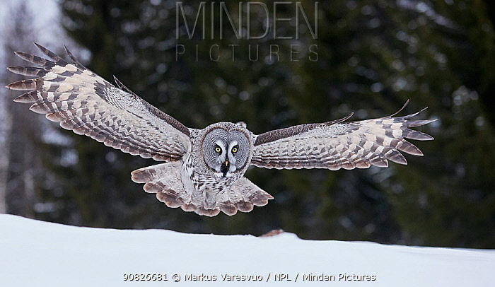 Great Grey Owl (Strix nebulosa) hunting over snow, Kuhmo Finland, March.