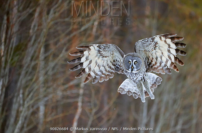 Great Grey Owl (Strix nebulosa) hunting, Kuhmo Finland, March.