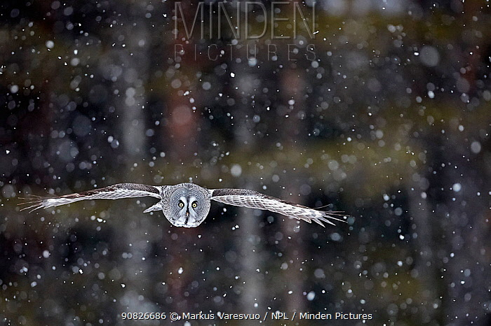 Great Grey Owl (Strix nebulosa) flying during snowfall, Kuhmo Finland, March.
