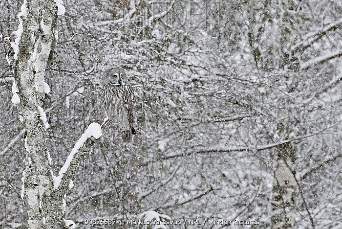 Great Grey Owl (Strix nebulosa) Kuhmo Finland, March.