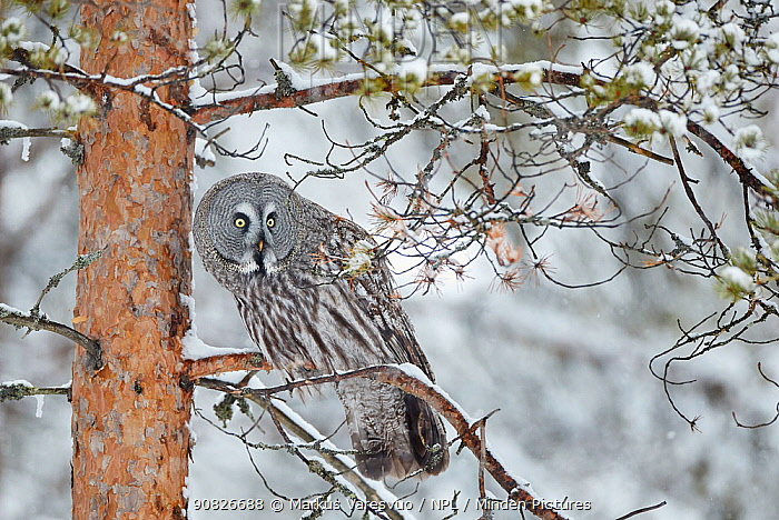 Great Grey Owl (Strix nebulosa) perched on in snowy pine tree, Kuhmo Finland, March.