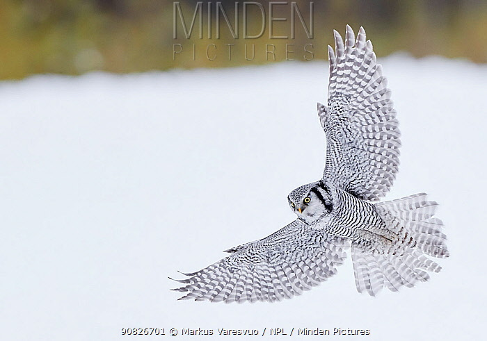 Hawk Owl (Surnia ulula) hunting, Kuhmo, Finland, March.