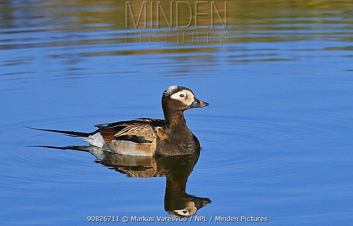 Long-tailed Duck (Clangula hyemalis) male, Iceland, June.