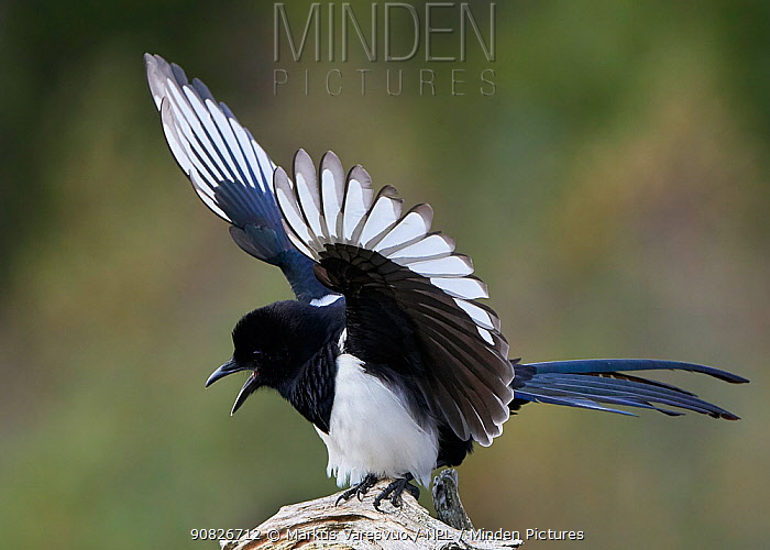 Magpie (Pica pica) flapping wings, Norway, October.