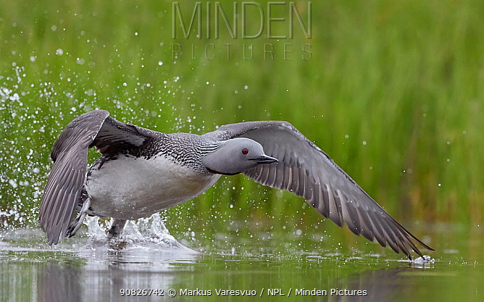 Red-throated Diver (Gavia stellata) taking off, Iceland, June.