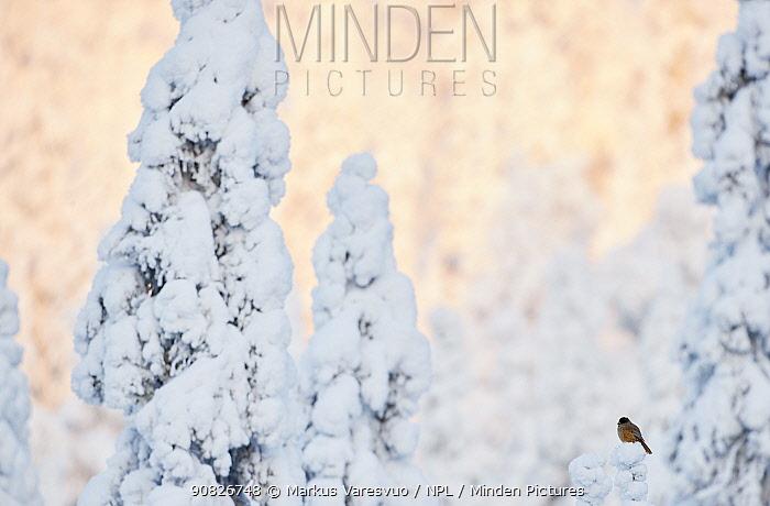 Siberian Jay (Perisoreus infaustus) perched on snowy tree, Kuusamo, Finland, January.
