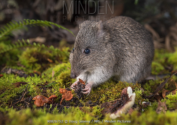 Long-nosed potoroo (Potorous tridactylus) eating fungi, showing sharp claws on front feet. Captive, photographed under controlled conditions at the Conservation Ecology Centre, Victoria, Australia.