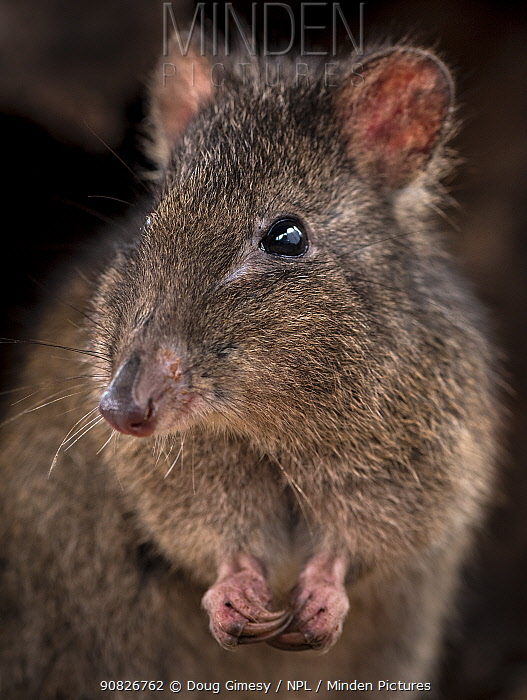 Long-nosed potoroo (Potorous tridactylus) portrait showing sharp curved claws on front feet for foraging, Victoria, Australia. Controlled conditions.
