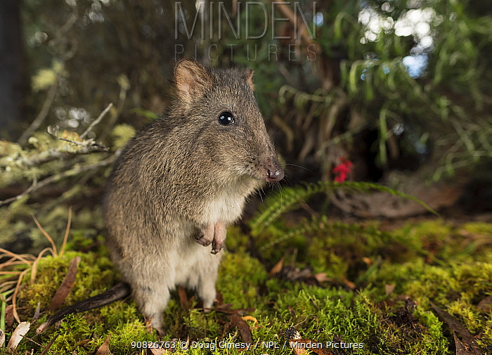 Long-nosed potoroo (Potorous tridactylus) foraging on forest floor, Victoria, Australia. Controlled conditions.