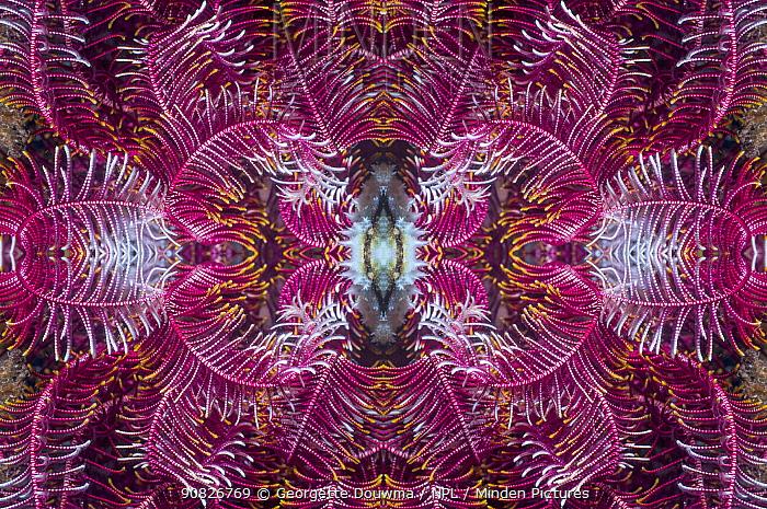 Kaleidoscopic image of a featherstar. Indonesia.