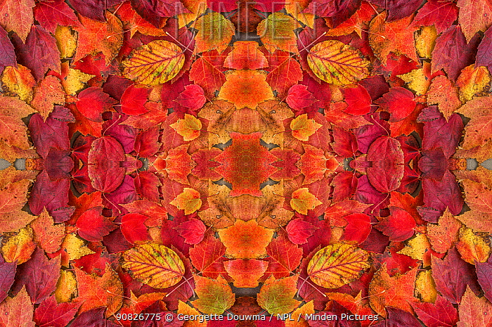 Kaleidoscopic image of autumn leaves. UK.