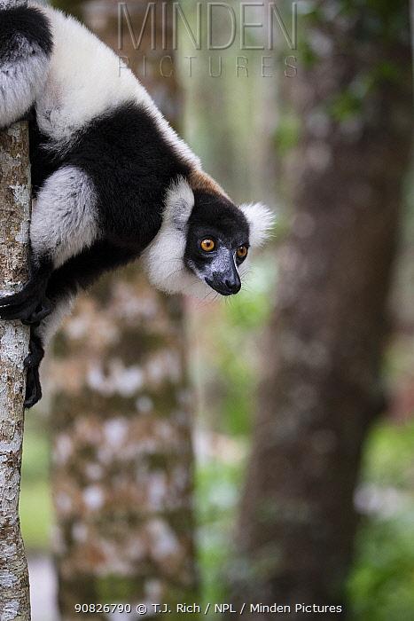 Black and white ruffed lemur (Varecea varigata)  Palmarium Reserve, Ankanin'Nofy, Madagascar