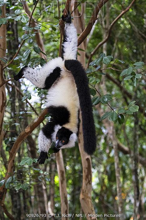 Black and white ruffed lemur (Varecia variegata) hanging from tree, Palmarium Reserve, Ankanin'Nofy, Madagascar.
