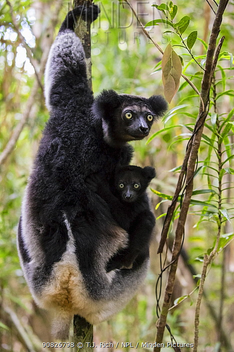 Indri (Indri indri) with young, Palmarium Resrve Ankanin'ny Nofy, Littoral rainforest, Madagascar.