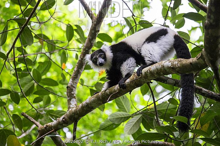 Black and white ruffed lemur (Varecia varigata) Kianjavato Lemur Project / Madagascar Biodiveristy Partnership, Ranomafana, Madagascar.