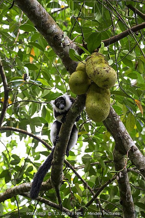 Black and white ruffed lemur (Varecia varigata) feeding on bread fruit, Kianjavato Lemur Project, Madagascar biodiversity partnership, Ranomafana, Madagascar.