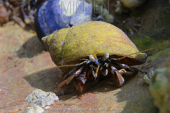 Head on view of Common Hermit crab (Pagurus bernhardus) in a Dog whelk shell crawling over the floor of a rockpool, Rhossili, The Gower Peninsula, UK, August.