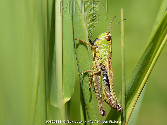 Meadow grasshopper (Chorthippus parallelus) female resting on grasses in a meadow, Wiltshire, UK, July.