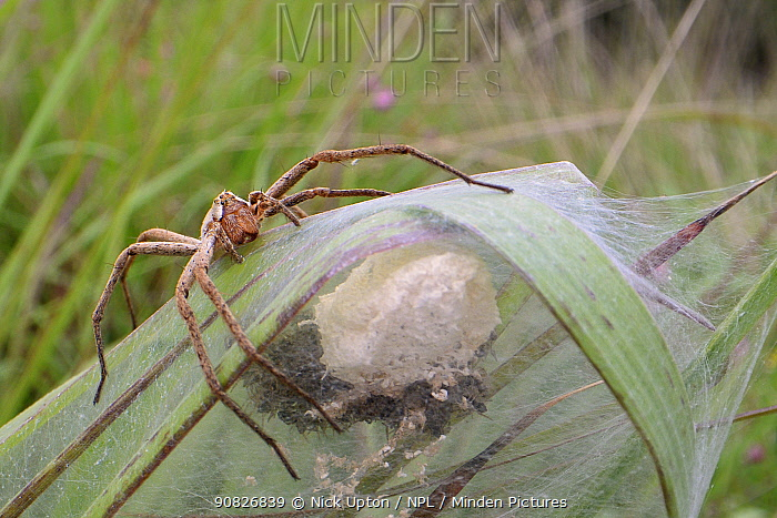 Nursery web spider (Pisaura mirabilis) female animal guarding her spiderlings, recently hatched from an egg sac within a silken tent on vegetation in a marsh, Dorset, UK, July.