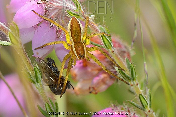 Raft spider (Dolomedes fimbriatus) juvenile with fly prey on a Cross-leaved heath (Erica tetralix) flowerhead in a bog, Studland Heath, Dorset, UK, July.