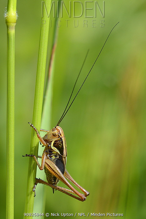 Roesel's bush cricket (Metrioptera roeseli) male, short-winged form, resting on a grass stem in a meadow, Wiltshire, UK, June. This species, formely of SE coasts is expanding its range rapidly further N and W and inland in the UK.