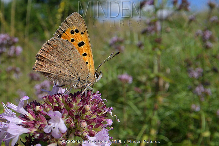Small copper butterfly (Lycaena phlaeas) nectaring on Wild marjoram flowers (Origanum vulgare) in a chalk grassland meadow, Wiltshire, UK, July.
