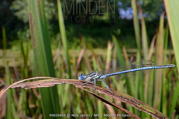 White-legged damselfly (Platycnemis pennipes) male resting on a riverbank rush, River Avon, Wiltshire, UK, July.