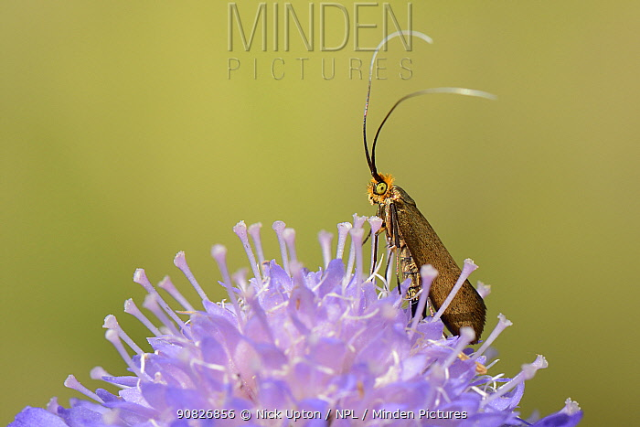 Brassy longhorn moth (Nemophora metallica) female standing on a Field scabious (Knautia arvensis) flower, the host plant for the larvae of this species, chalk grassland meadow, Wiltshire, UK, July.
