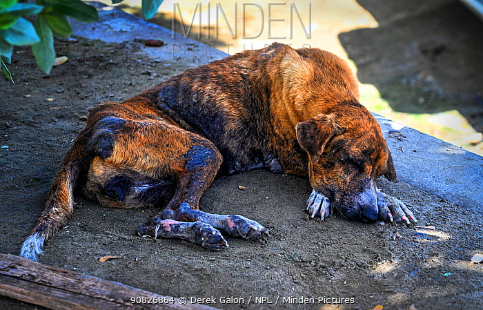 Stray dog in Grenada, Eastern Caribbean. Hungry homeless dogs are common over most Caribbean islands. September 2019.