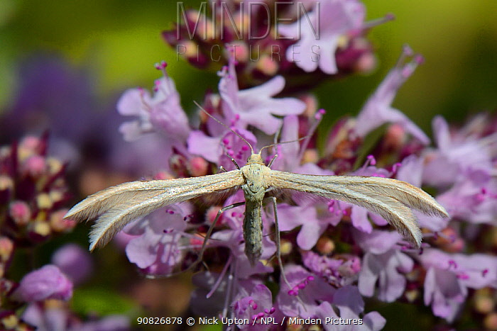 Dingy white plume moth (Merrifieldia baliodactylus) resting on a Wild marjoram (Origanum vulgare) flowerhead, the larval food plant for this species, in a chalk grassland meadow, Wiltshire, UK, July.