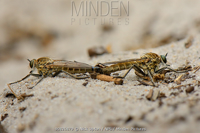 Dune Robberfly (Philonicus albiceps) pair mating on a sandy path, Studland Heath, Dorset, UK, July.