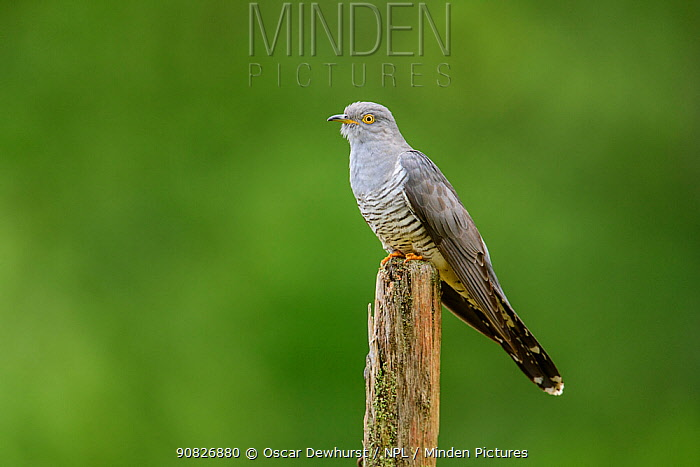 Cuckoo (Cuculus canorus) perched on fence post. UK. June