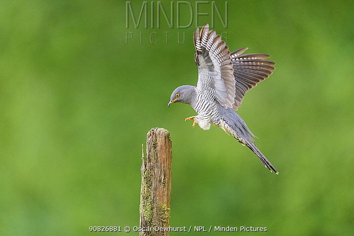 Cuckoo (Cuculus canorus) landing on fence post. UK. June