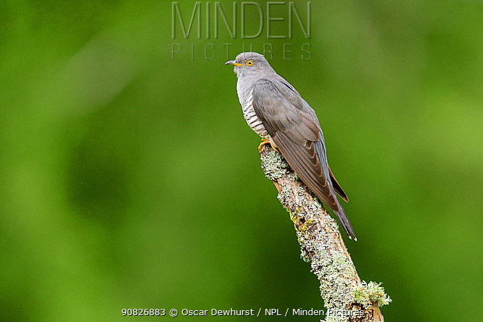 Cuckoo (Cuculus canorus) perched on lichen-covered branch. UK. June